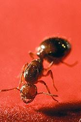 El veneno de la hormiga roja. Enlace a la información en inglés sobre la foto