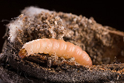 A navel orangeworm larva.