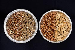Higher levels of moisture can lead to fungal growth (left) compared to properly dried, fungus-free peanuts (right).