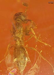 An image of a Calotelea wasp in amber that is about 20 million years old.