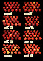Each tagged set of these Gala apples was grown on a different type of Geneva rootstock.