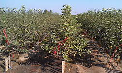 Honeycrisp apple trees with Geneva rootstocks in a large nursery in Washington State.