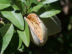 Almond husks, or hulls, naturally split open as the nut matures on the tree.