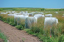 "These ""crossing cages� are used to make up to 100 switchgrass hybrid crosses per year in the breeding program at Madison, Wisconsin."