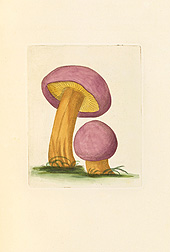 "A watercolor titled ""Agaricus ferratis (Agaric with Serrated Gills),"" created by James Bolton, a noted naturalist who lived in England in the late 18th century."