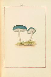 Blue Agaric (Agaricus caeruleus). James Bolton, Icones fungorum circa Halifax sponte nascentium, Manuscript Volume II, 1786. Special Collections, National Agricultural Library.
