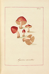Cherry Colored Agaric (Agaricus aurentius). James Bolton, Icones fungorum circa Halifax sponte nascentium, Manuscript Volume I, 1784. Special Collections, National Agricultural Library.
