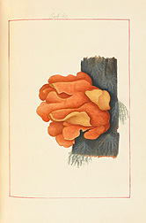Tough Boletus (Boletus tenax). James Bolton, Icones fungorum circa Halifax sponte nascentium, Manuscript Volume II, 1786. Special Collections, National Agricultural Library.