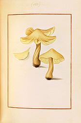 Lacerating Agaric (Agaricus laceratus). James Bolton, Icones fungorum circa Halifax sponte nascentium, Manuscript Volume IV, 1787. Special Collections, National Agricultural Library.