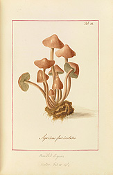 Bundled Agaric (Agaricus fascicularis). James Bolton, Icones fungorum circa Halifax sponte nascentium, Manuscript Volume I, 1784. Special Collections, National Agricultural Library.