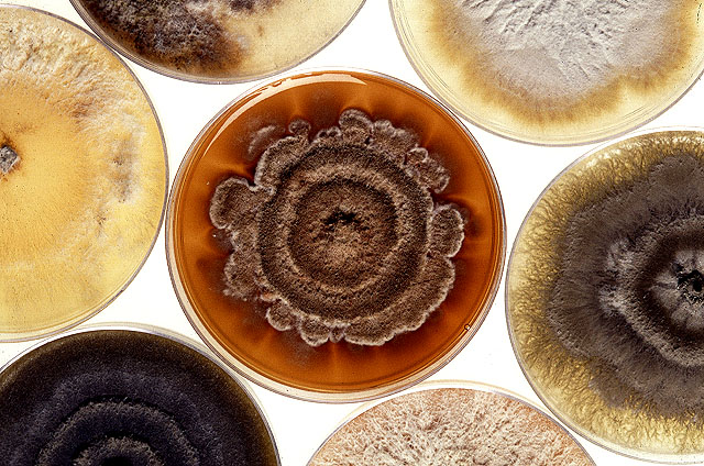 Cultures of a destructive mold called Phomopsis strains. Click here for full photo caption.