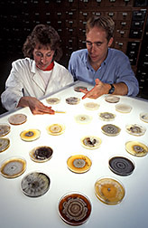 Mycologists Becki Schultheiss and Steve Rehner compare cultures of Phomopsis. Click here for full photo caption.