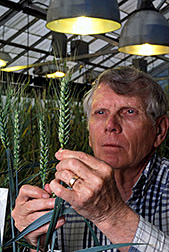 Plant geneticist Bob Allen examines a stalk of the winter wheat Madsen. Click here for full photo caption.