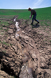 Research associate Chris Pannkuk analyzes soil resistance in a badly eroded wheat field. Click here for full photo caption.