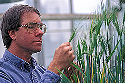 Plant pathologist David Weller examines wheat. Click here for full photo caption.