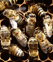Varroa mites on honey bees