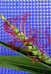 A corn-eastern gamagrass hybrid