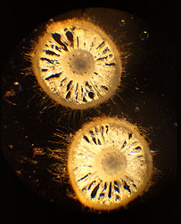 Cross section of gamagrass root