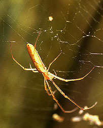 Long-jawed orb weaver.