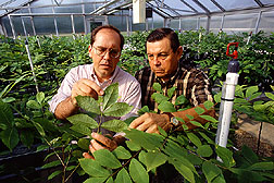 Inspecting greenhouse plants for pecan scab damage.