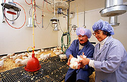 Chemist Lucy Lee and technician inoculate chickens with experimental recombinant vaccine: Link to photo information