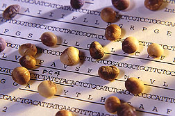 Photo: Soybeans on top of a gene map. Link to photo information