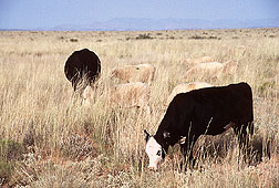 Cattle and sheep forage on New Mexico range.