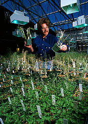 The Plant Gene Expression Center's research director, Peter Quail of the University of California at Berkley, inspects mutant Arabidopsis plants.