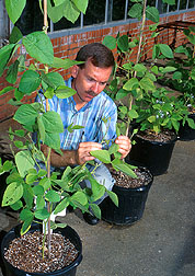 Geneticist checks early maturing soybeans for signs of stem canker. Click here for full photo caption.