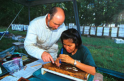 Developing bees are extracted from a comb to check for mites. Click here for full photo caption.