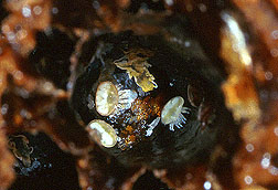 Varroa mites found in a honey bee brood cell. Click here for full photo caption.