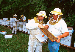 ARS geneticist Tom Rinderer (right) with cooperator Steve Bernard and other scientists inspect colonies of Russian and other honey bees.