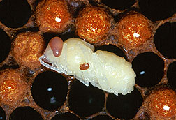 An adult varroa mite feeds on a developing worker bee. Click here for full photo caption.