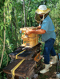Technician prepares hives for transport. Click here for full photo caption.