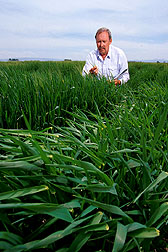 Agronomist inspects barley test plots for early-season incidence of barley stripe rust. Click here for full photo caption.