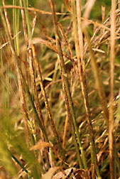A severe barley stripe rust infection. Click here for full photo caption.