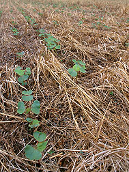 Planting cotton in ultra-narrow rows in rye residue protects soil. Click here for full photo caption.