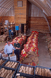 Photo: In a potato cellar, geneticist Richard Novy (right) and plant pathologist Dennis Corsini examine quality of tubers from the Aberdeen breeding program after cold storage. Link to photo information