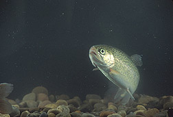 A rainbow trout: Click here for full photo caption.