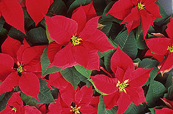 Photo: Poinsettias, Euphorbia pulcherrima. Link to photo information