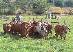 Photo: A herd of Gyr being studied as research on cattle genetics. Link to photo information