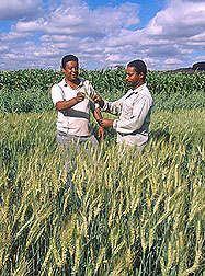 Field assistants discussing wheat experiments: Click here for full photo caption.