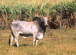 A Zebu bull: Click here for full photo caption.