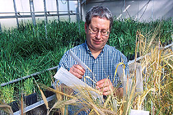 A geneticist inspecting environmentally friendly grain: Click here for full photo caption.