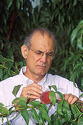 Ralph Scorza inspects a peach on one of his newly developed columnar trees. Link to photo information