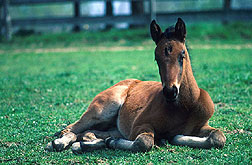 Healthy foal lying on the grass: Link to photo information
