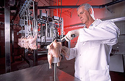 Scientist Gene Lyon removes breast muscles from an electrically stimulated chicken carcass:  Link to photo information