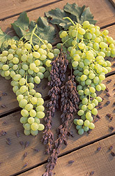 Photo: Selma Pete raisin grapes before and after drying on the vine. Link to photo information