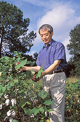 Chemical engineer examines the flowers on a cotton plant: Click here for full photo caption.