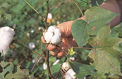 Close-up of a cotton boll: Click here for full photo caption.
